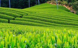 Asia Talk-Image-japan_Greentea