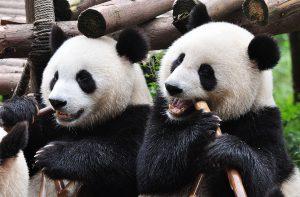 Panda stock_600x394