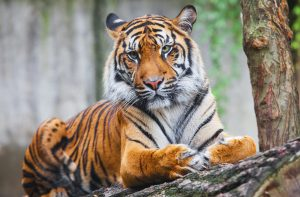 Tiger600x394_stockPic